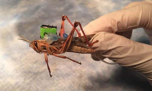 Photo of a cyborg grasshopper